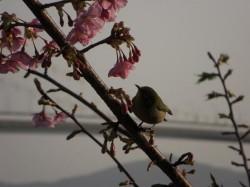 横にある、はやさきの桜にめじろ?ウグイス?